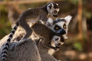 madagascar-lemuri