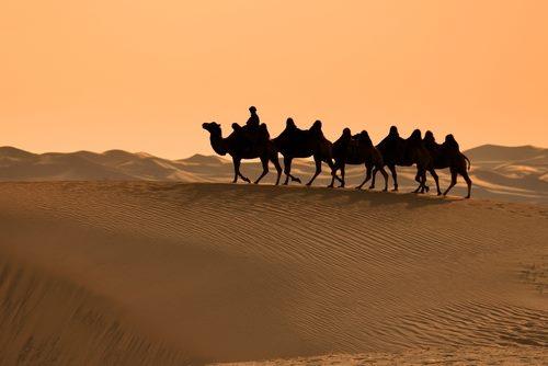 Camels in Gobi Desert Mongolia