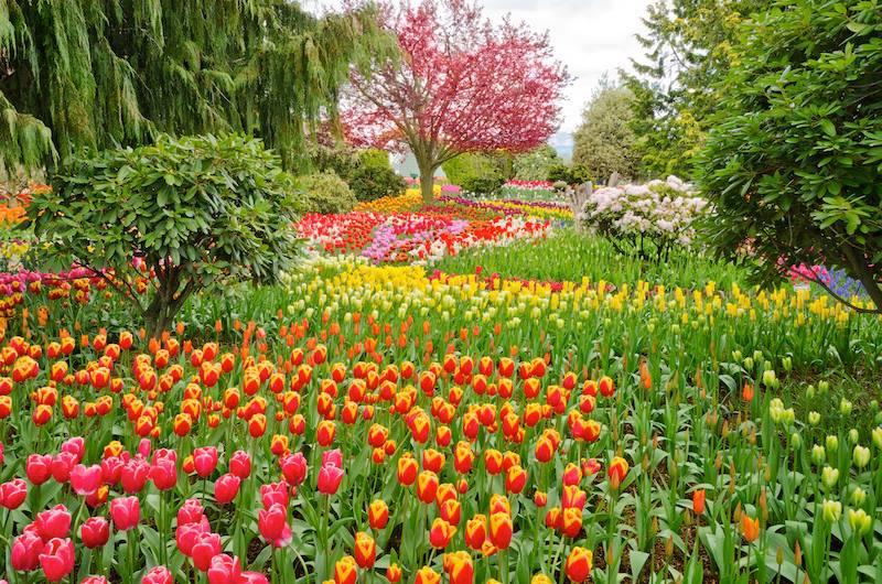 Garden Tulips Skagit Washington State