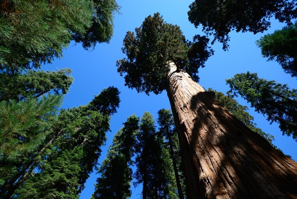 Giant Sequoia Trees in Mariposa Grove Yosemite National park California