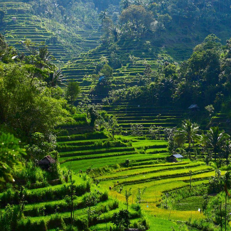 Green rice fields Bali
