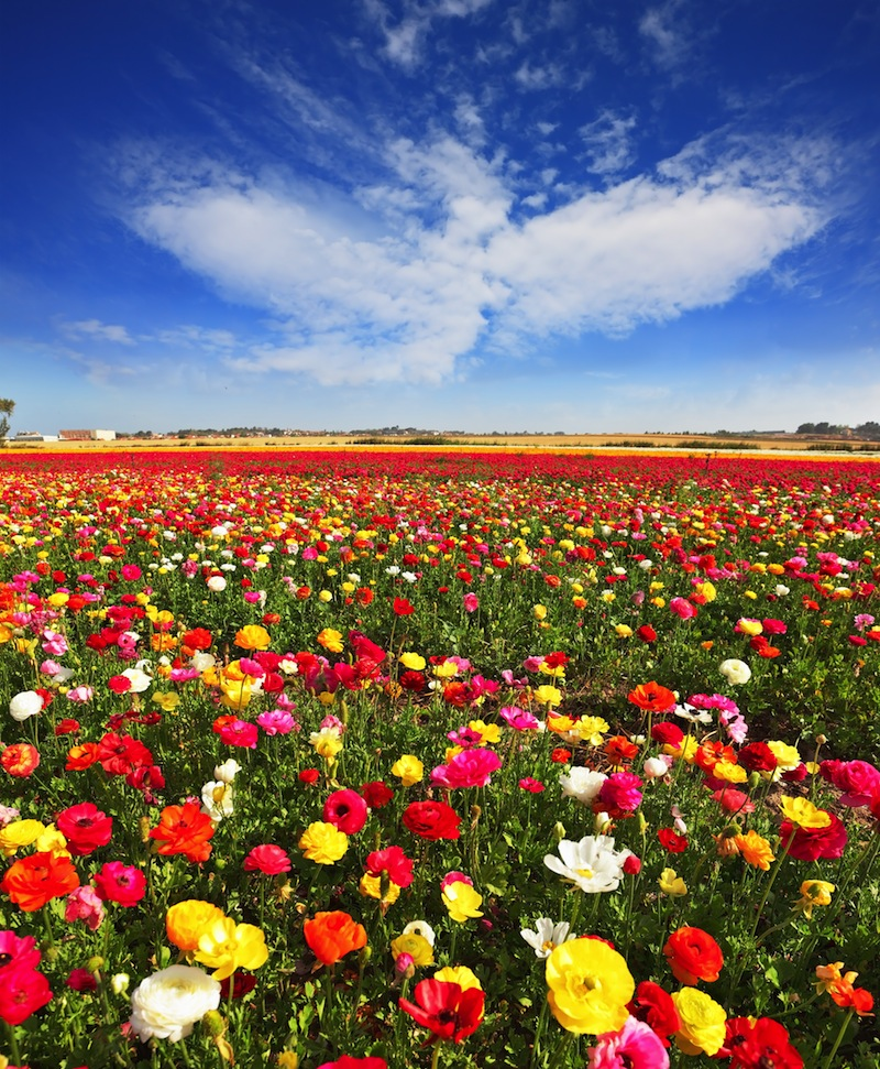 Huge fields of large colorful buttercups and ranunculus grow in kibbutz in southern Israel