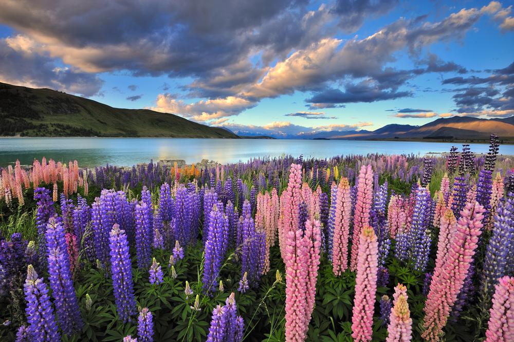 Lupins on the shore of Lake Tekapo New Zealand
