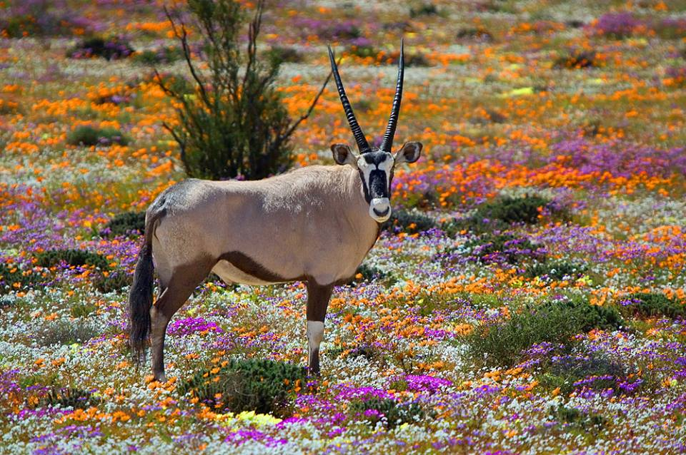 Oryx between flowers Namaqualand South Africa