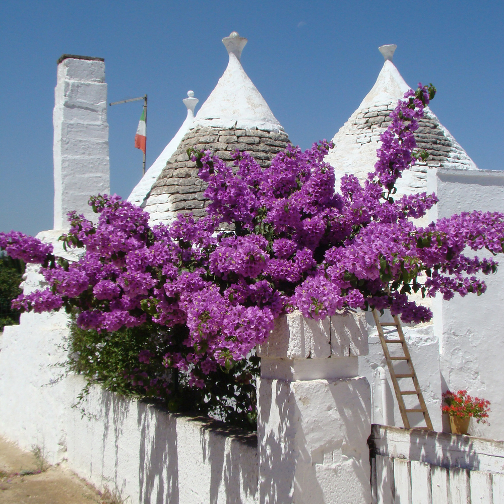 Purple bougainvillea and conical roofs of trullo house typical for region close to Alberobello in south Italy
