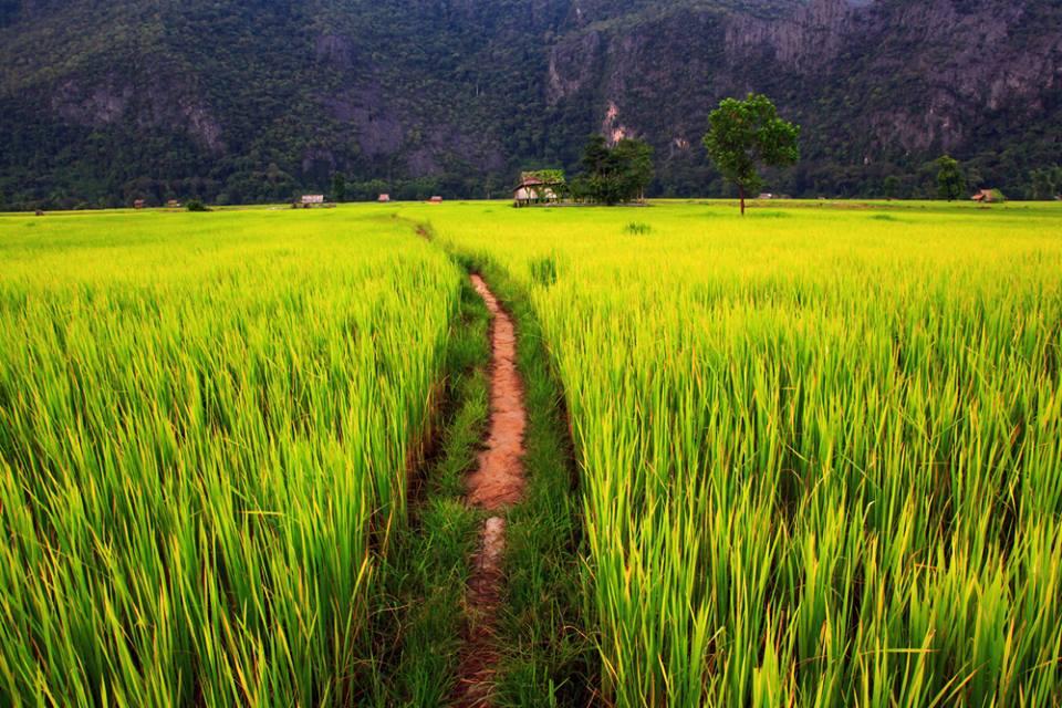 Ricefield Laos
