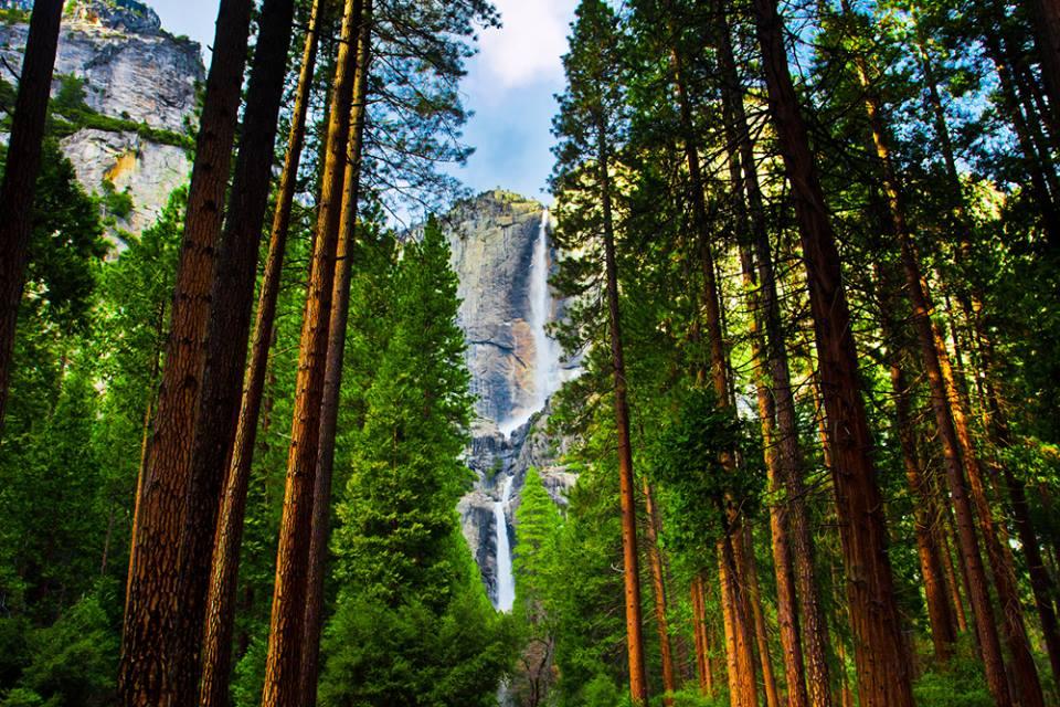 Sequoias in Yosemite National Park California