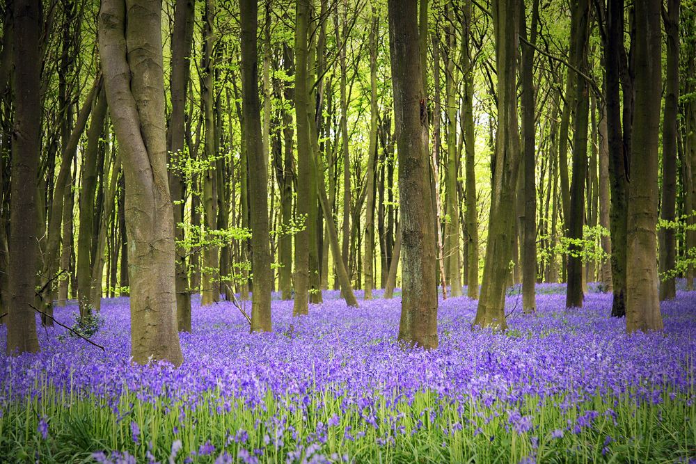 bluebells in the woods Hampshire