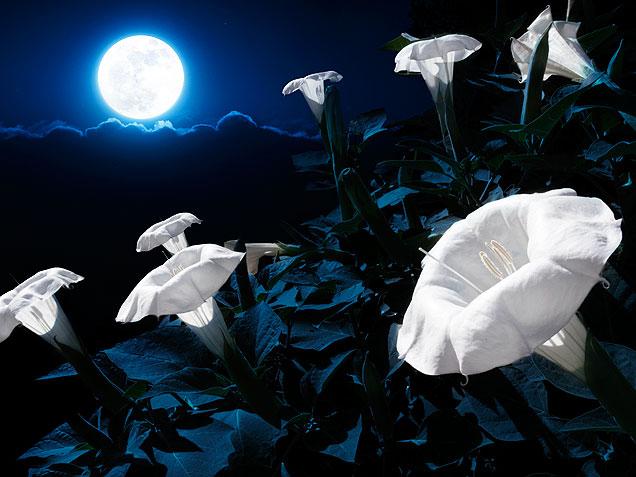01 night garden moonflower 636 1