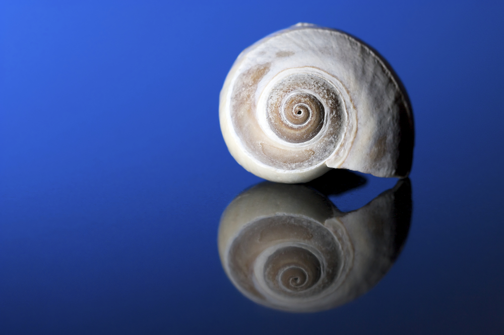 A beautiful moon snail sits on a blue reflective background