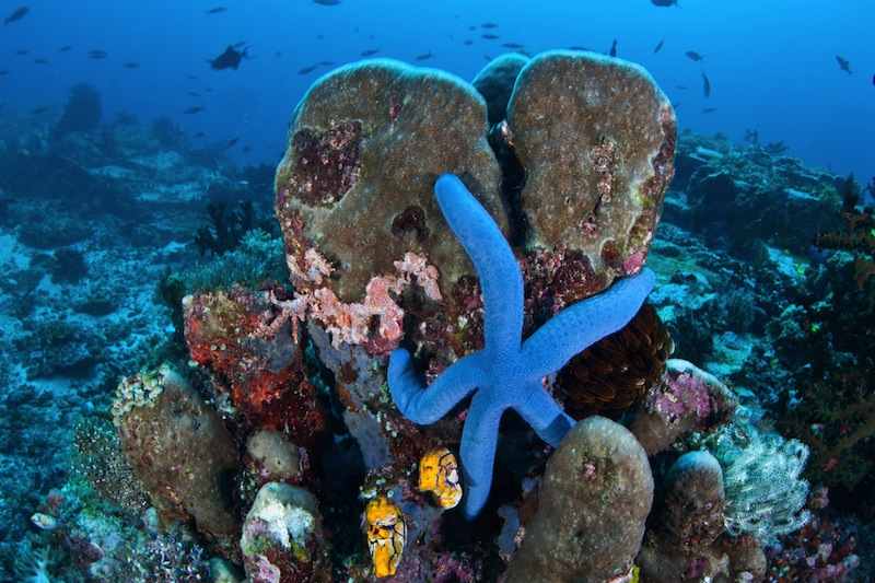 A blue seastar Linkia laevigata clings to a diverse coral reef near the Bunaken Marine National Park in North Sulawesi Indonesia