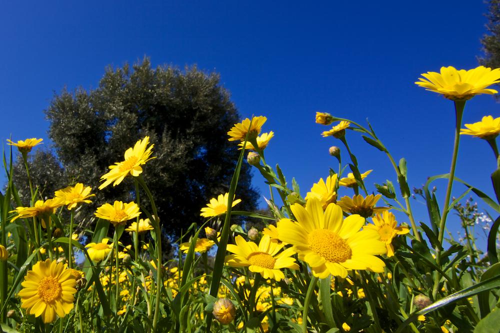 A flower field amongst olive trees in Apulia puglia