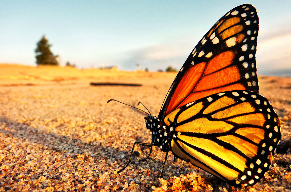 A monarch butterfly takes a well deserved break on the shores of Lake Superior in Minnesota on its northward return to Canada from Mexico