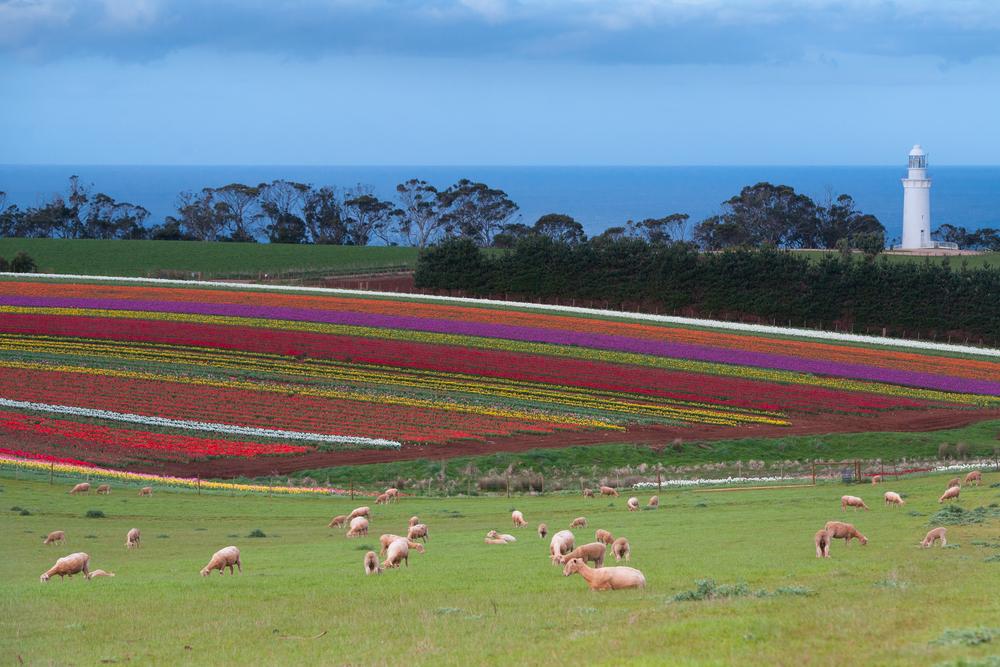 A sea of tulips in front of Table Cape lighthouse near Wynyard Tasmania Australia