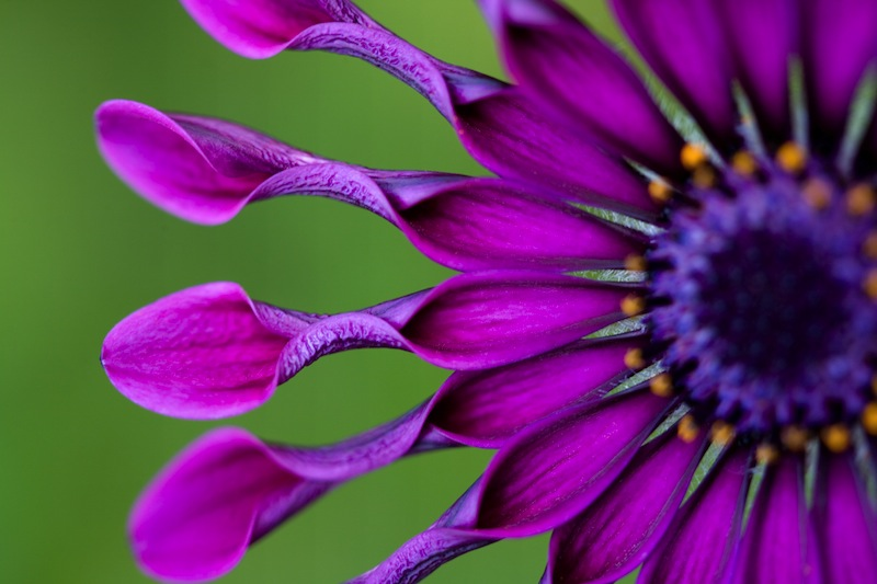 African Daisy or Osteospermum tropical flower