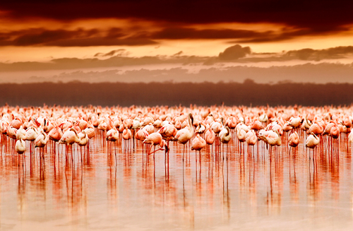 African flamingos in the lake over beautiful sunset flock of exotic birds at natural habitat Africa landscape Kenya nature Lake Nakuru national park reserve