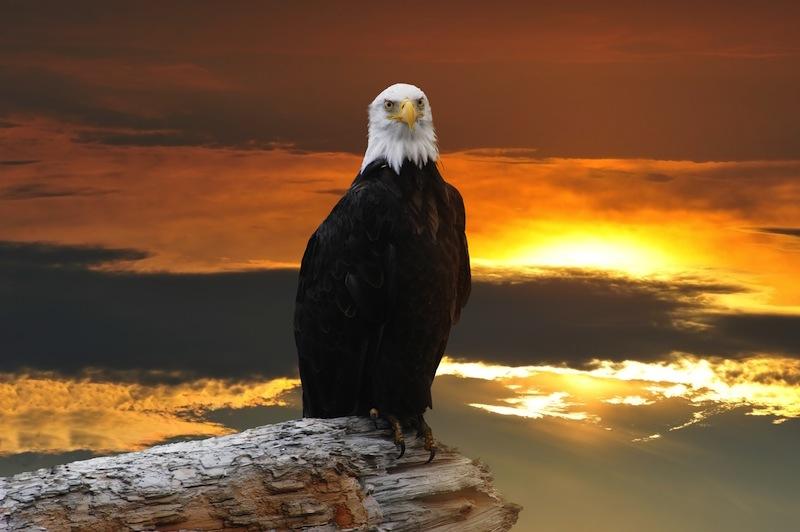 Alaskan Bald Eagle perched