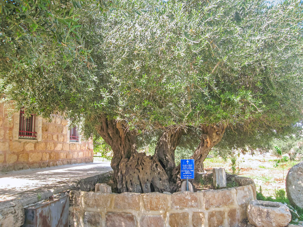 Ancient biblical olive trees planted before Christ on Shepherds Fields in Beit Sahour