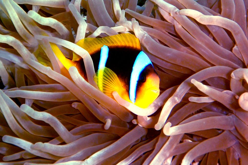 Anemone and Clownfish close up