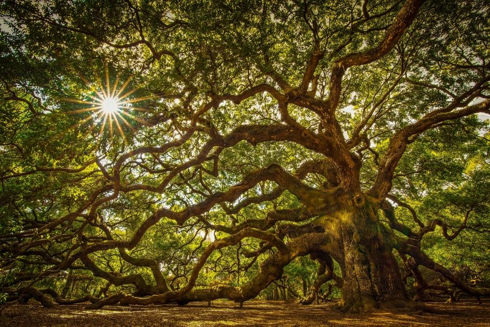 Angel Oak Tree on Johns Island South Carolina