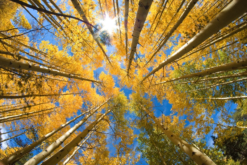 Aspen Trees 100