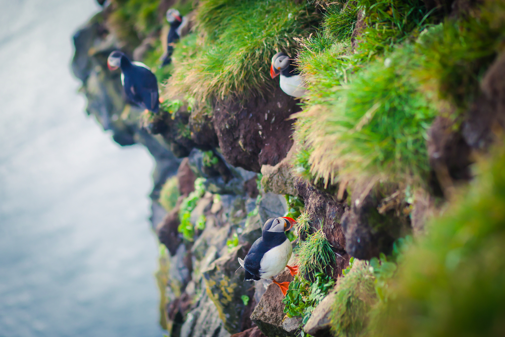 Atlantic Puffin In Iceland