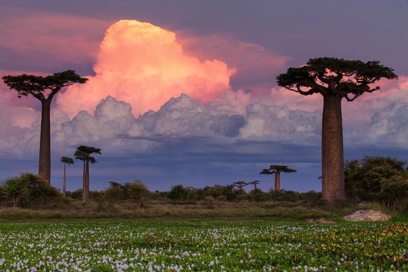 Baobab Alley Madagascar pink sunset