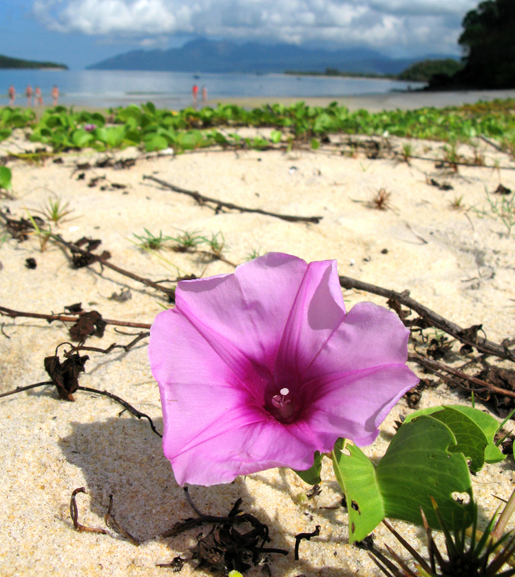Beach Morning Glory Ipomoea flower