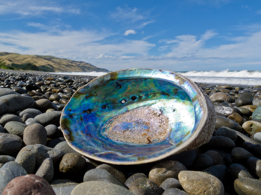 Beached empty Paua Perlemoen or Abalone shell showing the iridescent nacre mother of pearl interior lying ashore on gravel beach conchiglia