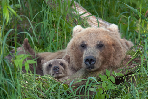 Bear with bear cubs in Russia on the peninsula of Kamchatka0