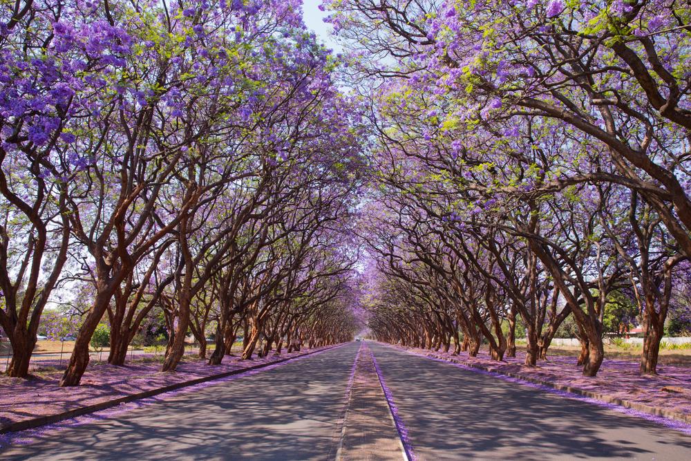 Blooming Jacaranda trees lining Milton Avenue in Harare Zimbabwe etiopia