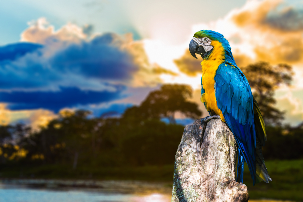 Blue and Yellow Macaw in Pantanal Brazil