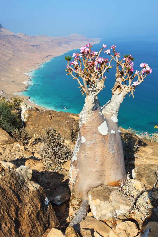 Bottle tree adenium obesum endemic tree of Socotra Island with turquoise sea water background at Socotra Island