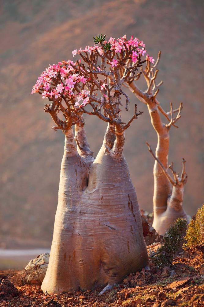 Bottle tree in bloom9 adenium obesum endemic tree of Socotra Island