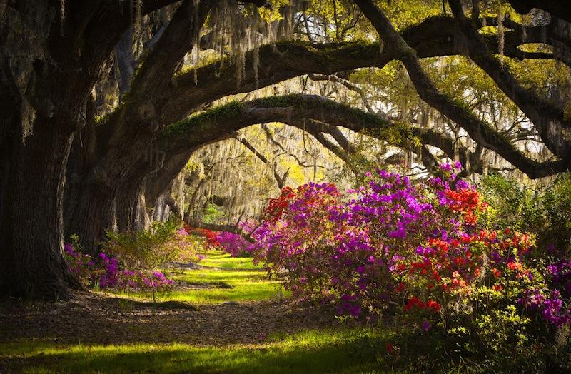 Charleston SC Plantation Live Oak Trees Spanish Moss Azalea Flowers Blooming Spring Blooms
