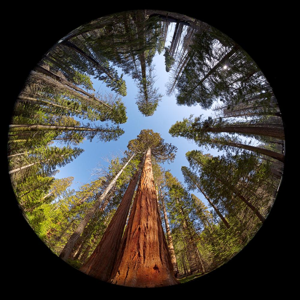 Complete circular fisheye view of the Giant Sequoia Trees in Mariposa Grove Yosemite National park California USA