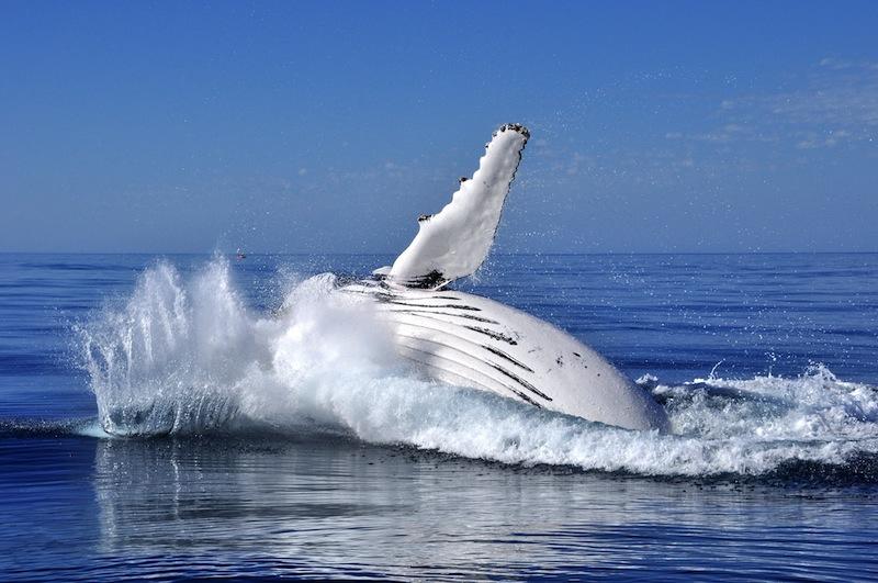 Copia di balena