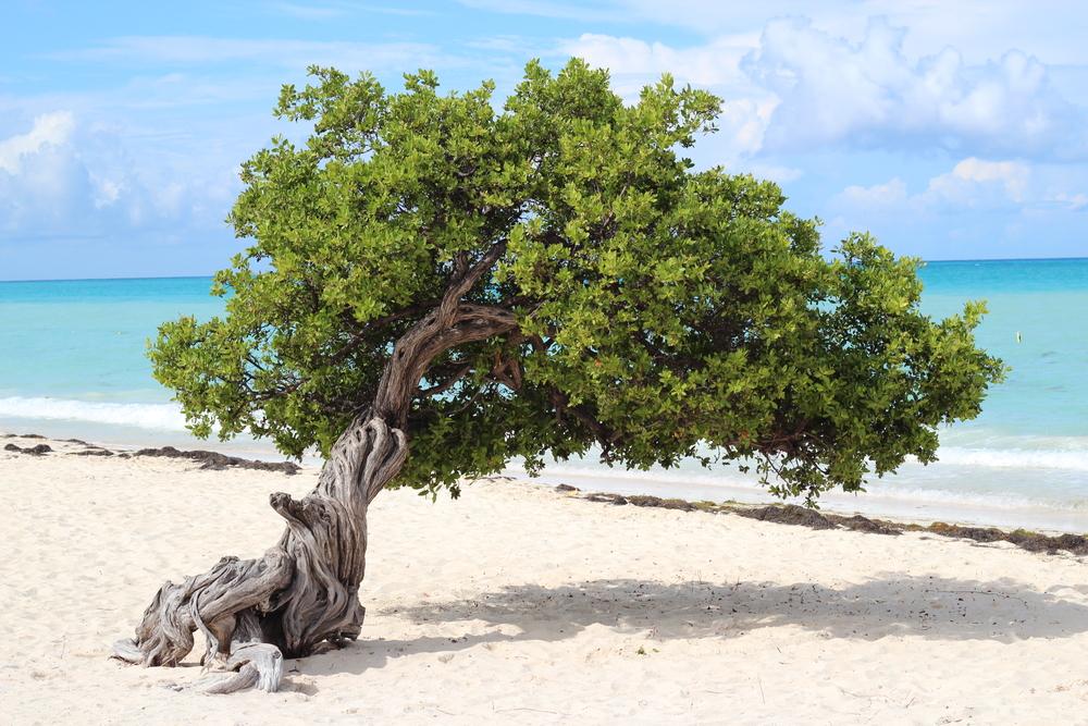 Di vi tree curacao