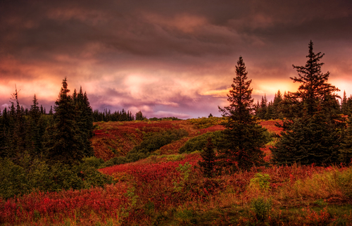 Fall sunset in rural Alaska with spruce trees and red fireweed with pink clouds