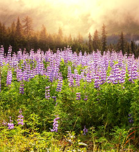 Flower meadow in Alaska