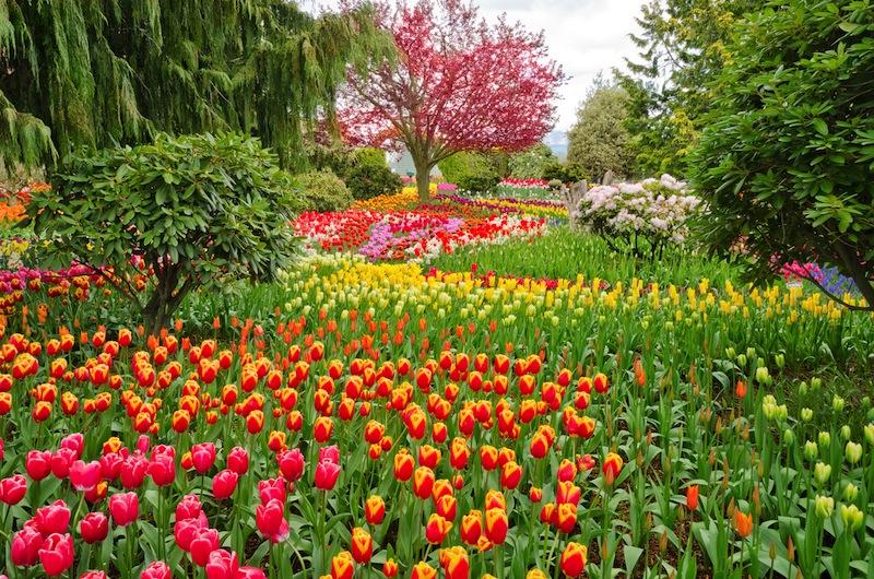Garden of tulips at Skagit Washington State America