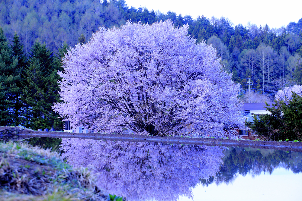Giant Cherry tree in small village in Japan