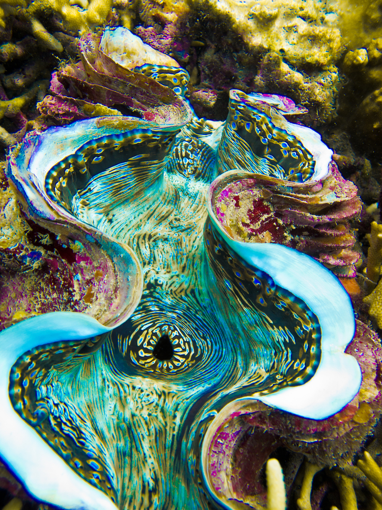 Giant Clam in Koh Tao in Thailand