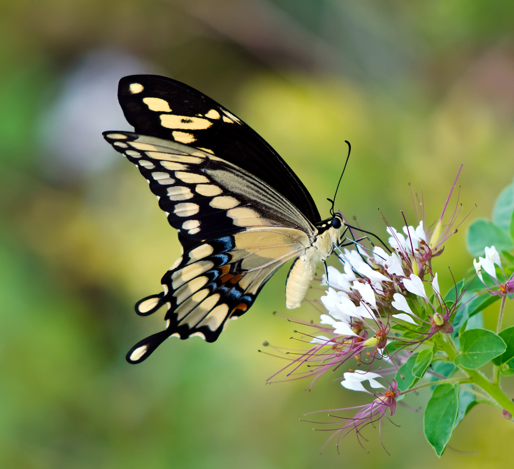 Giant Swallowtail butterfly Papilio cresphontes feeding on white wildflowers