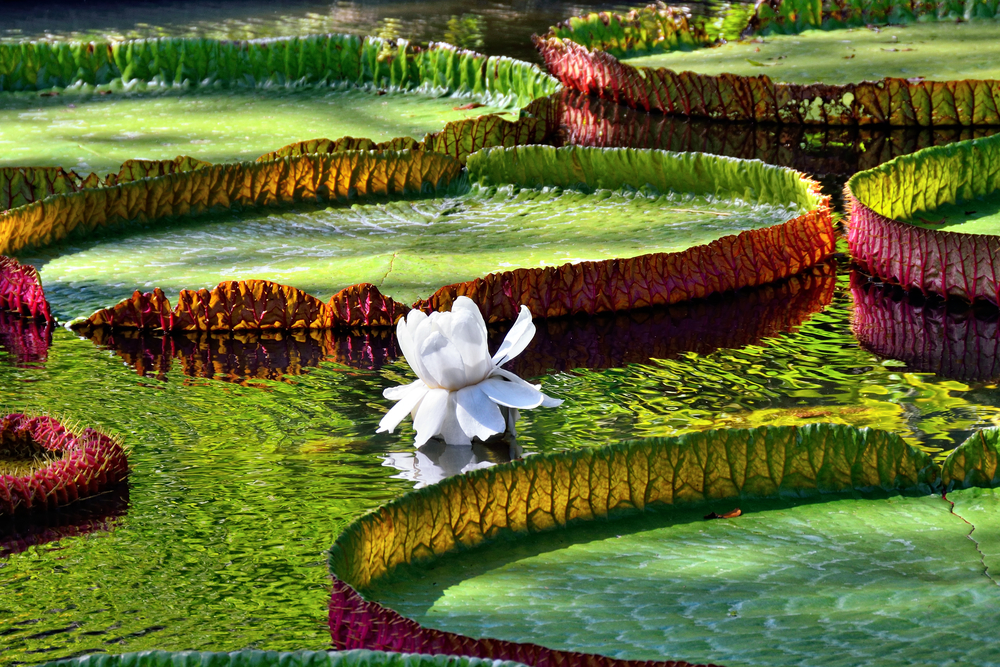 Giant amazonian lily in water at the Pamplemousess botanical Gardens in Mauritius