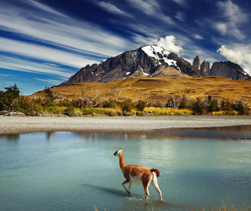 Guanaco crossing the river in Torres del Paine National Park Patagonia Chile