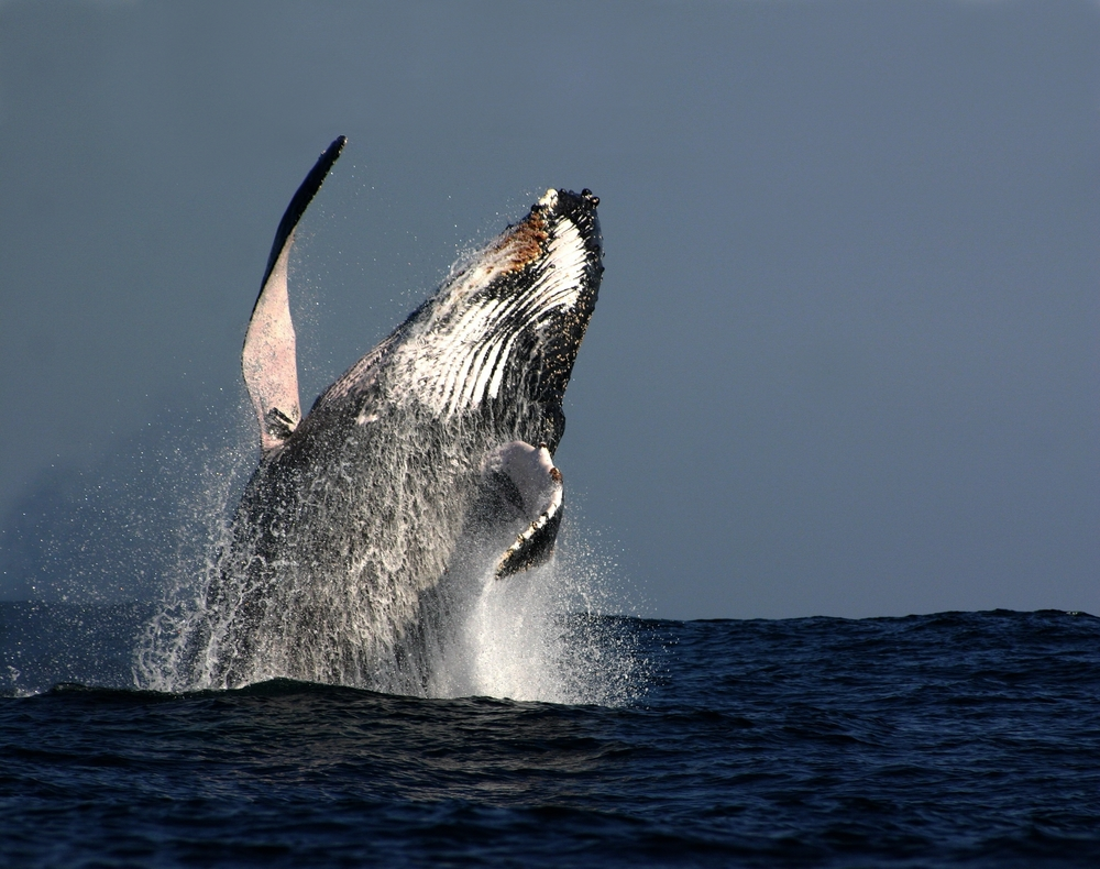 Humpback whale breaching in South Africa