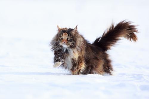 Il Maine Coon è un gatto di origine nord americana del Maine