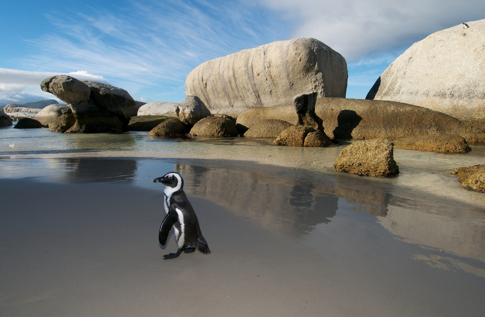 Jackass Penguin Cape Town south africa