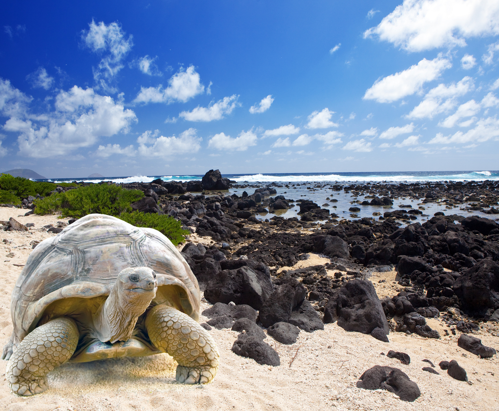 Large turtle Megalochelys gigantea at the sea edge on background of a tropical landscape
